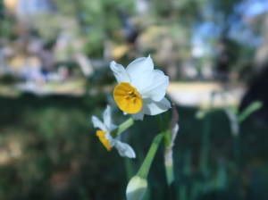 日比谷公園のスイセン Narcissus in Hibiya park