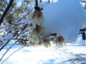 Chimonanthus praecox/ Japanese allspice/ 蝋梅 ロウバイ