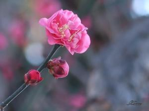 寒中梅/ Japanese apricot in cold days