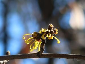 Chinese witch hazel/ シナマンサク