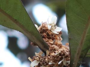 ビワ 枇杷の花