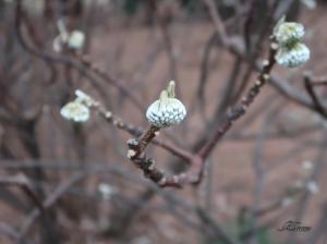ミツマタ 春を待つ銀色の蕾