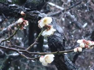 Prunus mume/ Japanese apricot/ ウメ 梅