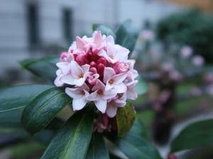 Winter Daphne/ ジンチョウゲ