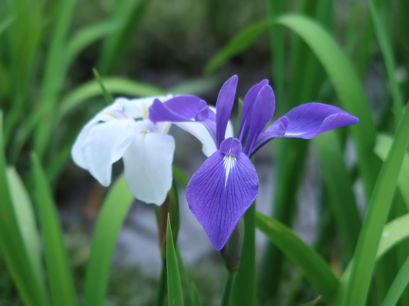 Rabit-ear iris/ カキツバタ