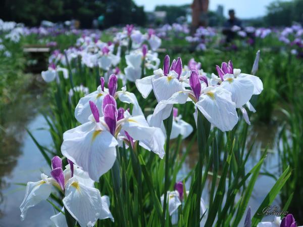 Iris ensata/ ハナショウブ