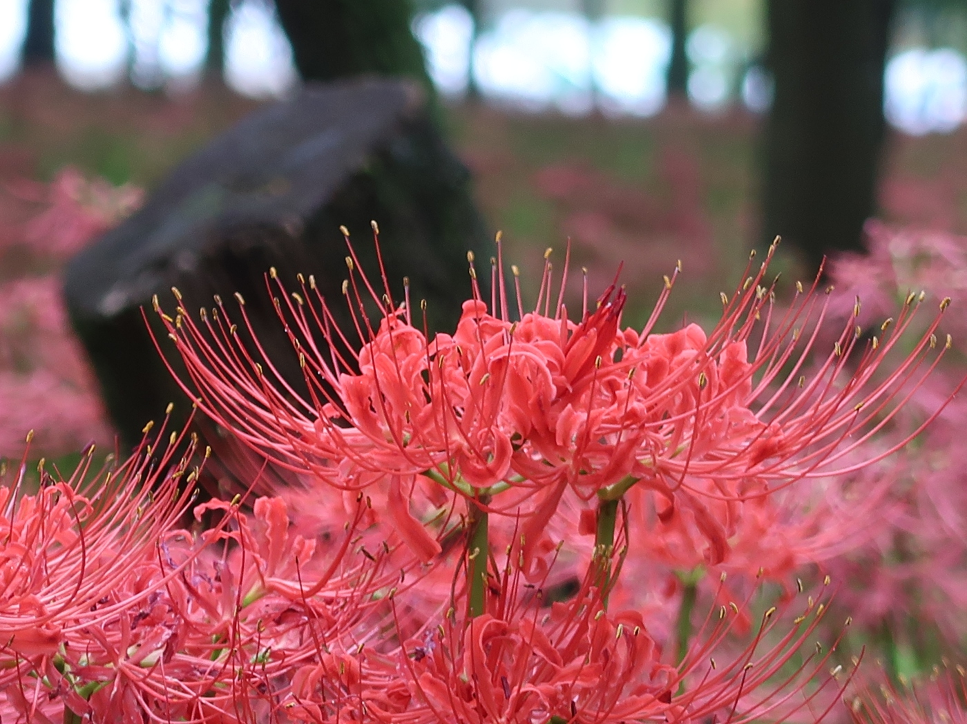 Red spider lily/ ヒガンバナ