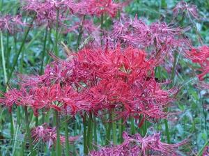 Red magic lily/ マンジュシャゲ