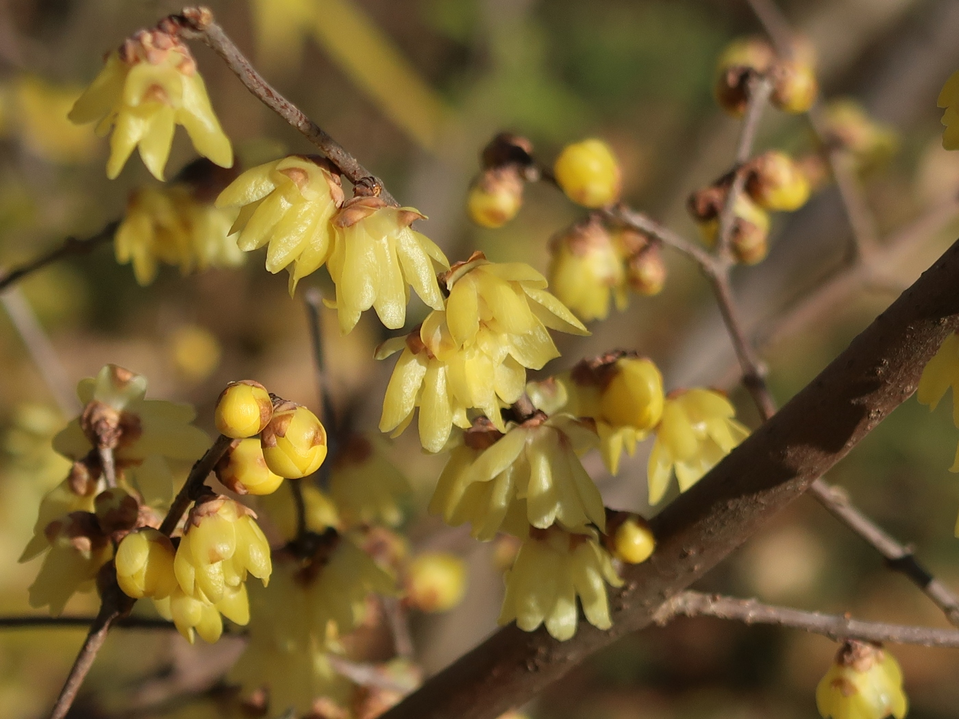 Chimonanthus praecox/ Winter sweet, Japanese allspice/ ロウバイ