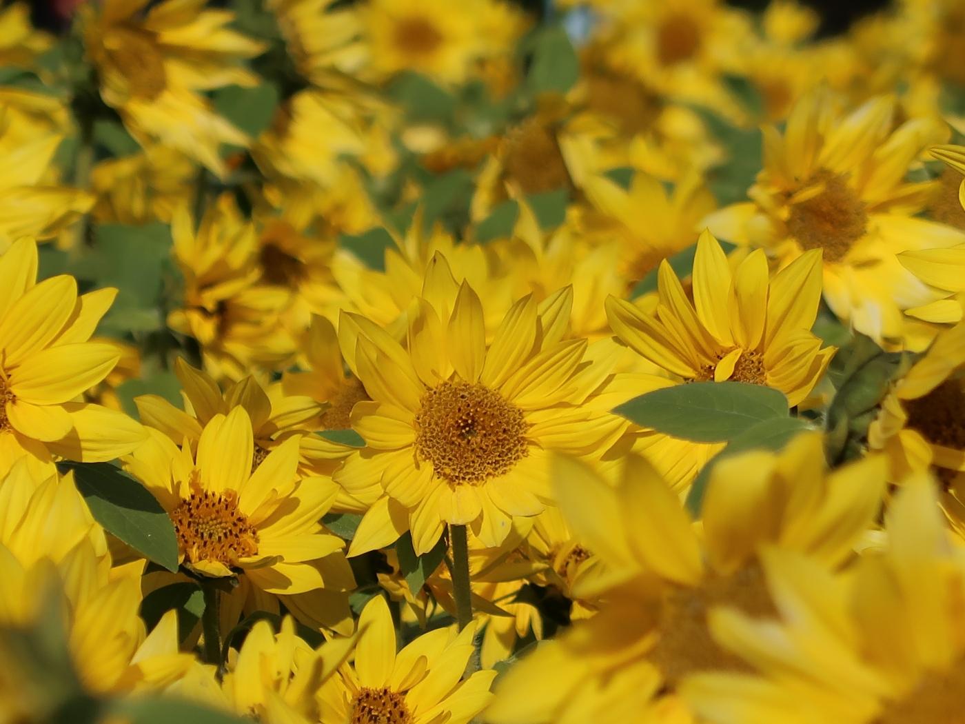 Helianthus annuus/ Sunflower/ ヒマワリ 向日葵