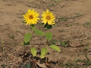 Helianthus annuus/ Sunflower/ ヒマワリ 向日葵
