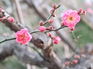 Prunus mume/ Japanese apricot/ ウメ