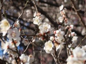 Prunus mume/ Japanese apricot/ ウメ 品種 冬至梅