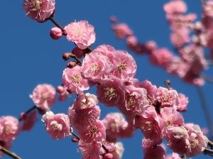 Prunus mume/ Japanese apricot/ ウメ 品種 未開紅