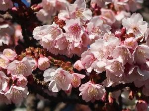 Cherry var. Atamizakura/ アタミザクラ
