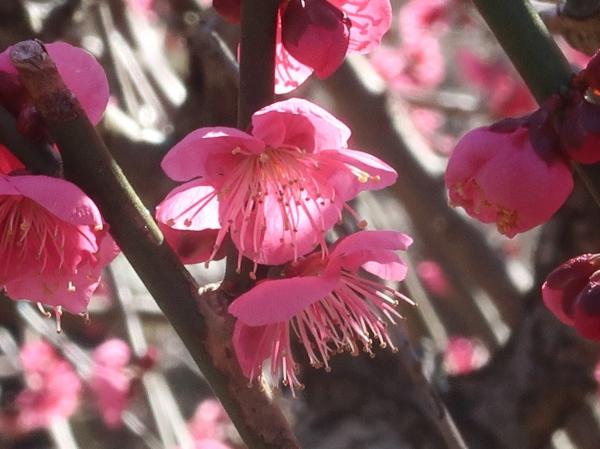 Prunus mume/ Japanese apricot/ ウメ 品種 大盃