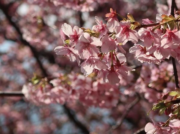 カワズザクラ/ Cherry var. Kawazu-zakura