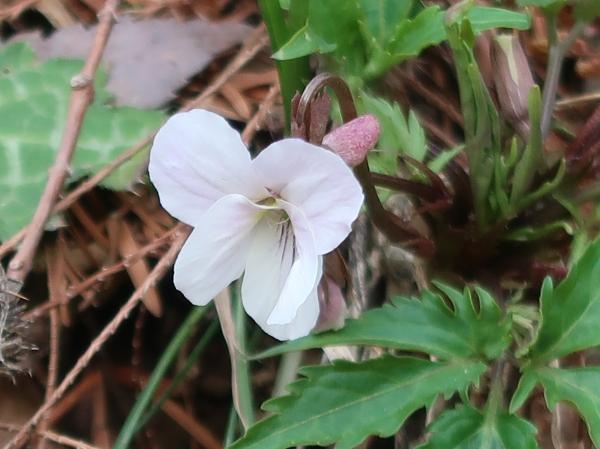 Viola eizanensis / エイザンスミレ